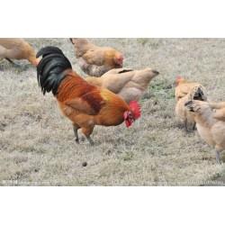 地方特色名优-肉类-鸡 优质生态健康