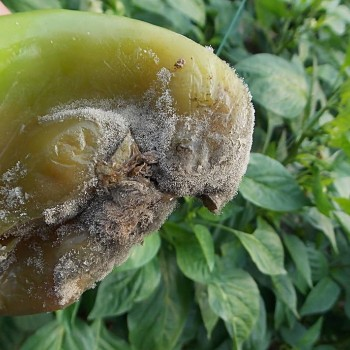 辣椒疫霉病及根螨该怎么治