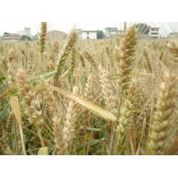 求购大小麦