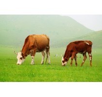 出售40多头牛