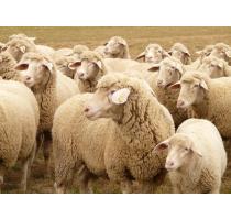 出售100只绵羊