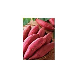 长期求购红薯
