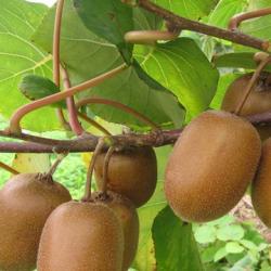 求购猕猴桃树苗