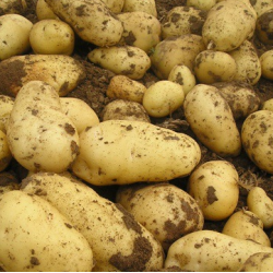 求购大量土豆
