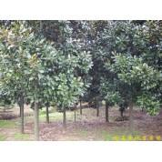 出售南京广玉兰等多种绿化苗木