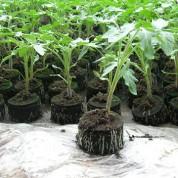西红柿苗 供应各种蔬菜幼苗