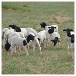 求肉质较好纯种的肉羊