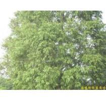 江苏水杉,南京水杉,南京水杉价格