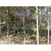 出售南京榉树等多种绿化苗木