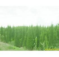 出售南京蜀桧等多种绿化苗木