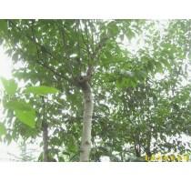 出售南京杜仲等多种绿化苗木