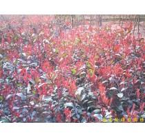 出售南京红叶石楠等多种绿化苗木