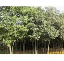 出售南京大叶女贞等多种绿化苗木