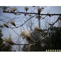 出售南京白玉兰等多种绿化苗木