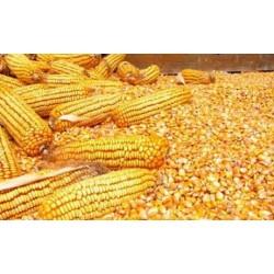哪里长期收购玉米;民发高价收购(优质厂家)